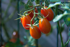 Five tomatoes on the plant Stock Image