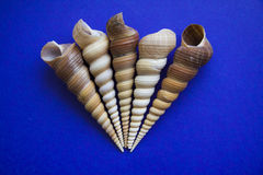 Five Tower screw shells. Peculiar sea shells on blue background. copy space for text Royalty Free Stock Image