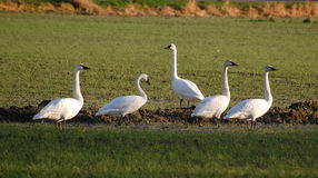 Five Trumpeter Swans in a farmer's field. Migrating Trumpeter Swans resting in a farm field in Skagit County, Washington Stock Photo