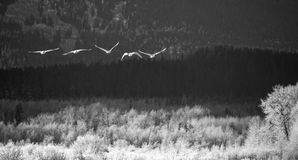 Five Trumpeter Swans flying. Five trumpeter swans in flight over the Chilkat Bald Eagle Preserve in Southeast Alaska in winter with frost on the trees in black Stock Photos