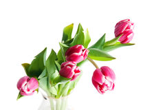 Five tulips. Five  tulips  isolated om white Stock Image