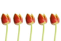 Five tulips. Isolated on a white background royalty free stock photos
