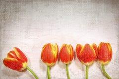 Five tulips Stock Photos