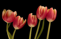 Five tulips Stock Photography