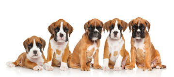 Five two months old puppies of German Boxer Stock Photo