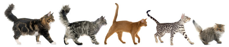 Five walking cats. In front of white background Stock Photos