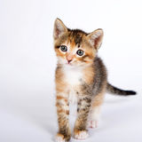 Five week old calico tortie tabby kitten on off white background. Standing looking forwards Royalty Free Stock Images