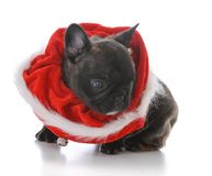 Five week old french bulldog. Dressed for christmas on white background Stock Photography