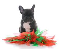 Five week old french bulldog. Dressed for christmas on white background Royalty Free Stock Photography