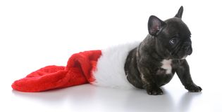 Five week old french bulldog. Inside a christmas stocking on white background Royalty Free Stock Images
