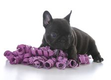 Five week old french bulldog. With purple ribbon on white background Stock Image