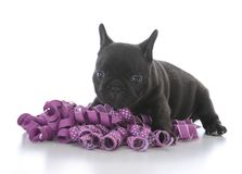 Five week old french bulldog. With purple ribbon on white background Royalty Free Stock Photo