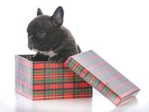 Five week old french bulldog. In a gift box on white background Stock Images
