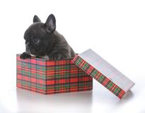 Five week old french bulldog. In a gift box on white background Stock Image