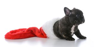 Five week old french bulldog. Inside a christmas stocking on white background Stock Images