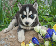 Five Week Old Husky Puppy Stock Images