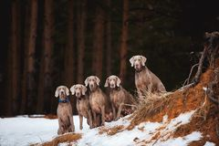 Five Weimaraner dogs sitting on the rock royalty free stock photos