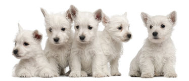 Five West Highland Terrier puppies, 7 weeks old. In front of white background royalty free stock image