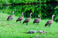 Five Whistling-Duck Royalty Free Stock Image