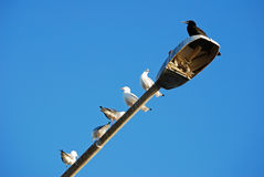 Five white birds, one black bird perched on pole isolated blue background Royalty Free Stock Photo