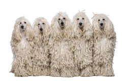 Five White Corded standard Poodles sitting Royalty Free Stock Images
