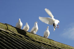 Five White Doves. On barn roof Stock Image
