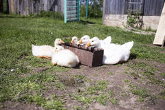 Five white goose rest at the trough with water on a clear warm s Royalty Free Stock Photos