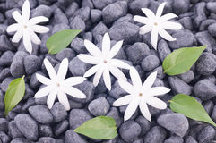 Five white jasmine flowers and leaves over zen stones background Royalty Free Stock Image