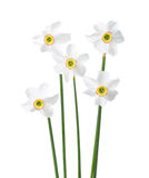 Five white narcissus. royalty free stock photo