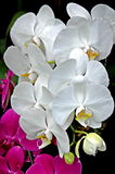 Five White Orchids Against a Dark Background. To the lower left of and behind the white orchid spray some pink orchids can be spied Stock Photos