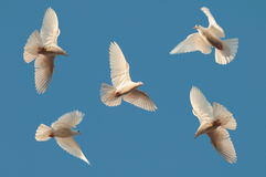 Five white pigeons fly in the sky Stock Image
