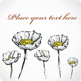 Five white poppies Royalty Free Stock Photo