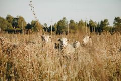 Five White Sheep on Brown Meadows Royalty Free Stock Image