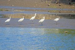 White Spoonbill. Five White Spoonbill stand in benchland. Scientific name: Platalea leucorodia stock photography