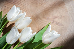 Five white tulips lie lower left on large transverse wooden saw cut. Natural background. Five white tulips lie lower left on large transverse wooden saw cut Stock Photography