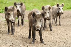 Five wild boars Royalty Free Stock Photography