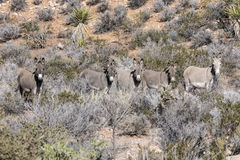Five Wild Desert Burros Stock Photo