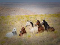 Five Wild Mustang Horses on Indian Reservation. Mustangs still run wild and free on Indian Reservations in the USA.  These five stand at attention with a breeze Royalty Free Stock Photography