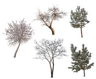 Five winter trees collection isolated on white Royalty Free Stock Photo
