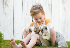 Little boy and corgi puppies royalty free stock photography