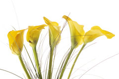 Five yellow calla lilies Royalty Free Stock Image