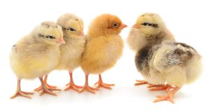 Five yellow chickens stock photo