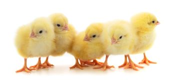Five yellow chickens royalty free stock photos