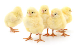 Five yellow chickens. stock images