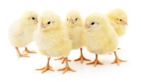 Five yellow chickens. Royalty Free Stock Photography