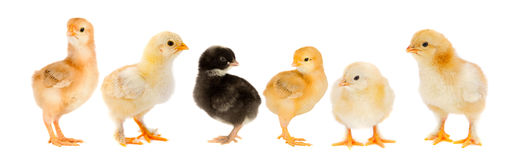 Five yellow chicks and one chick black Stock Photos
