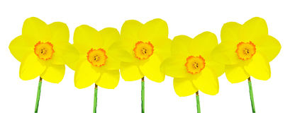 Five Yellow Daffodils Royalty Free Stock Photos