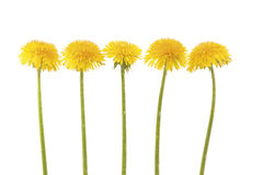 Five yellow dandelion. In a row on white background. Horizontal composition royalty free stock photo