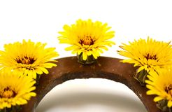 Yellow flowers in a horseshoe stock photos