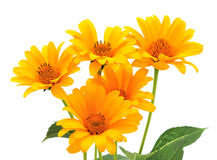 Five yellow flowers. royalty free stock photos
